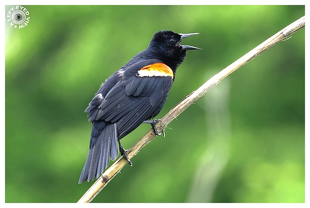 """A Left-Eyed View"", Sabourin, Red-Winged Blackbird"