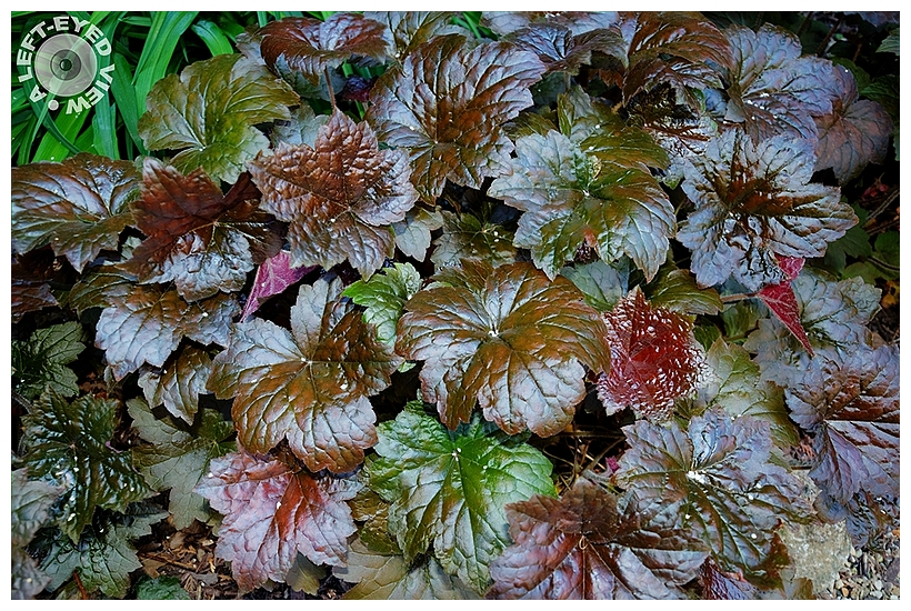 """""""A Left-Eyed View"""", Sabourin, """"Coral Bells"""""""