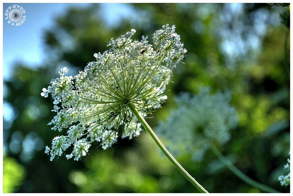 """A Left-Eyed View"", Sabourin, ""Queen Anne's Lace"""