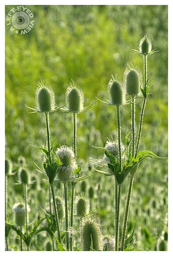 """""""A Left-Eyed View"""", Sabourin, Teasel"""