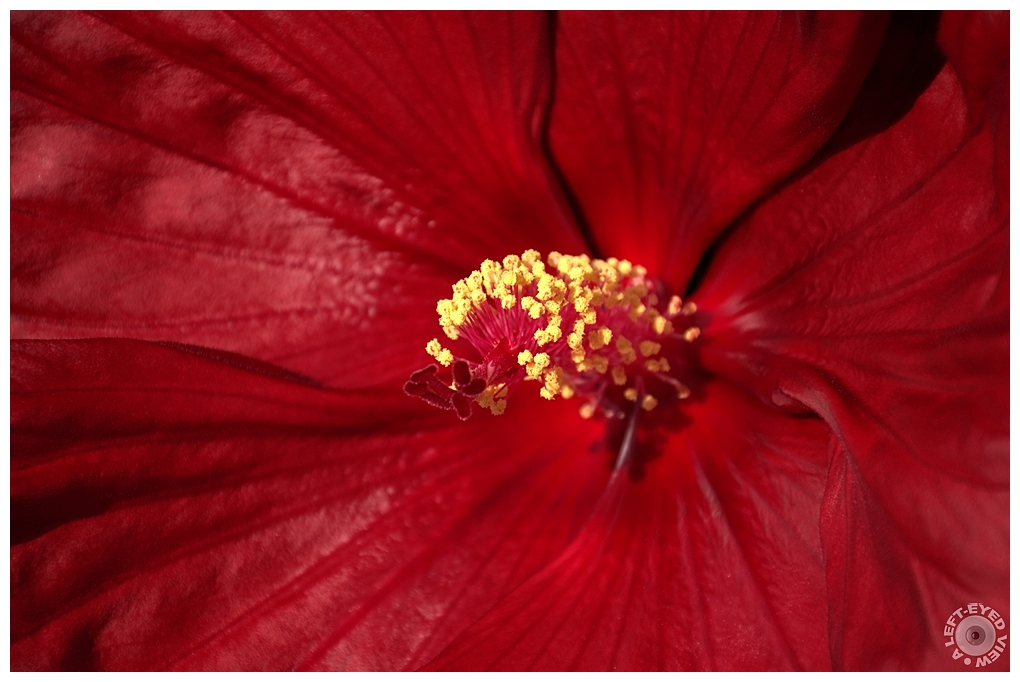 """A Left-Eyed View"", Sabourin, Hibiscus"