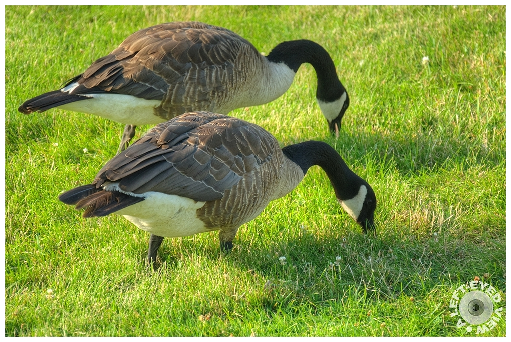 """A Left-Eyed View"", Sabourin, ""Canadian Geese"""