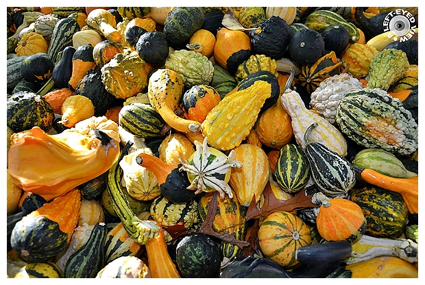 Cornucopia of Colorful Gourds