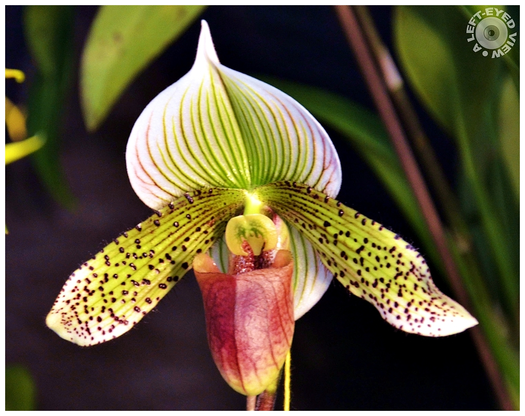 """A Left-Eyed View"", Sabourin, Lady Slipper Orchid"