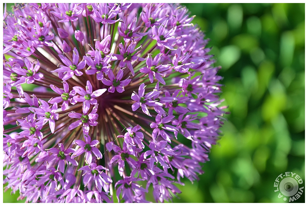 """A Left-Eyed View, """"Purple Onion Flower"""", Sabourin"""