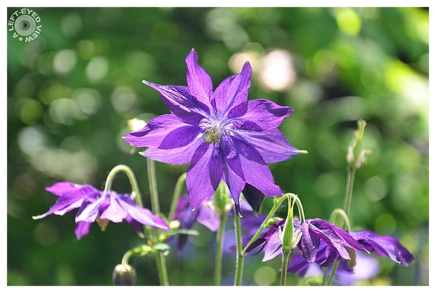 Herbaceous Clematis