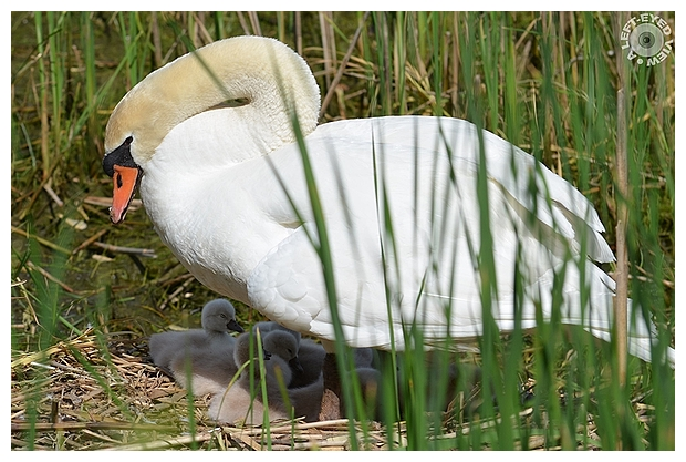 Mother and Cygnets