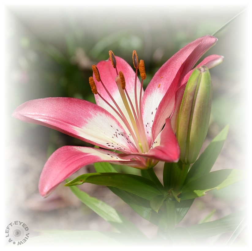 """A Left-Eyed View"", Sabourin, Asiatic Lily"