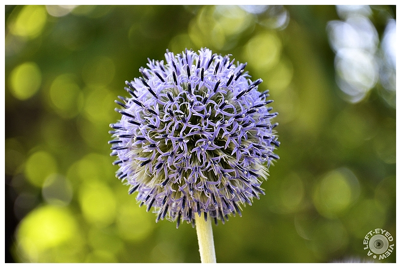 """""""A Left-Eyed View"""", Sabourin, Great Globe Thistle"""