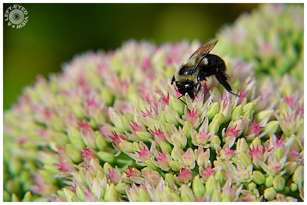 """A Left-Eyed View"", Sabourin, Sedum, Bee"