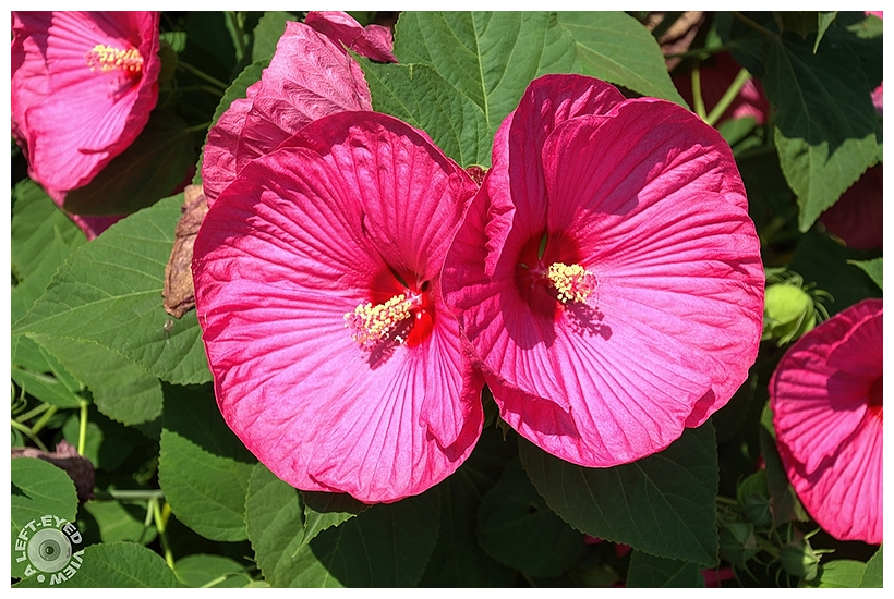 """A Left-Eyed View"", Sabourin, Pink Cloud Hibiscus"