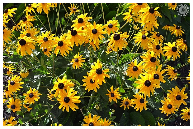 """A Left-Eyed View"", Sabourin, Black-Eyed Susan"