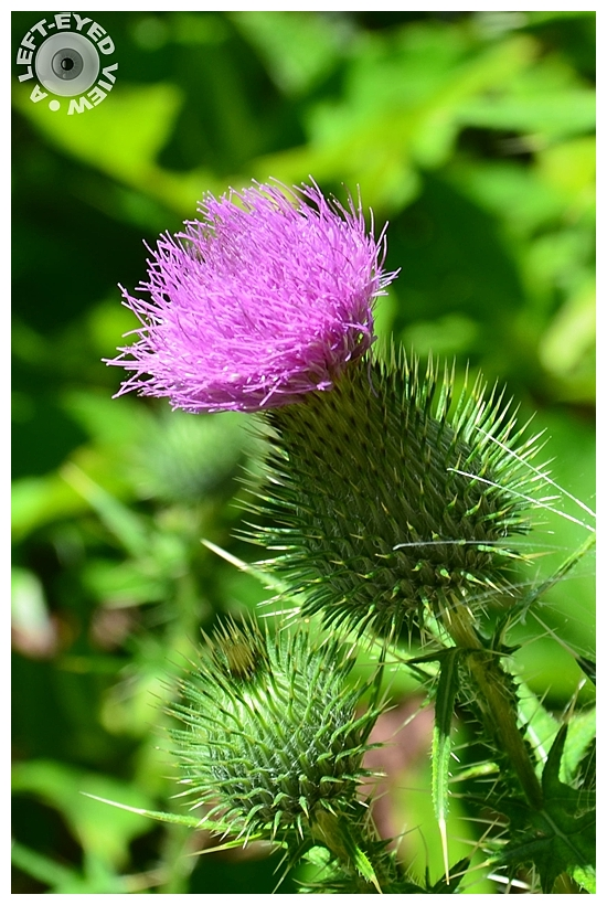 """""""A Left-Eyed View"""", Sabourin, Thistle"""