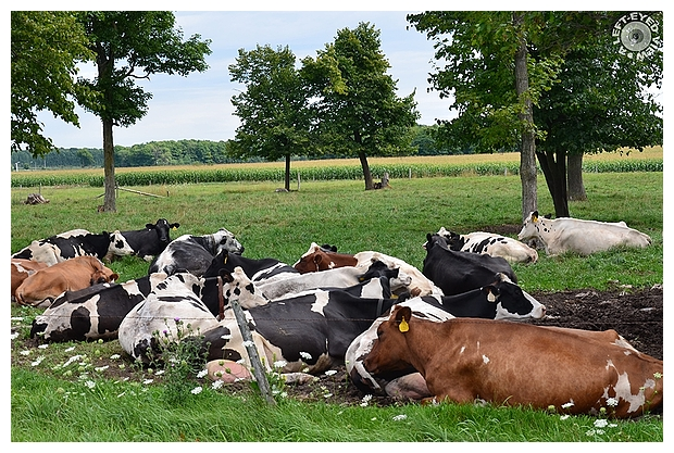 """""""A Left-Eyed View"""", Sabourin, Cows, Cattle"""