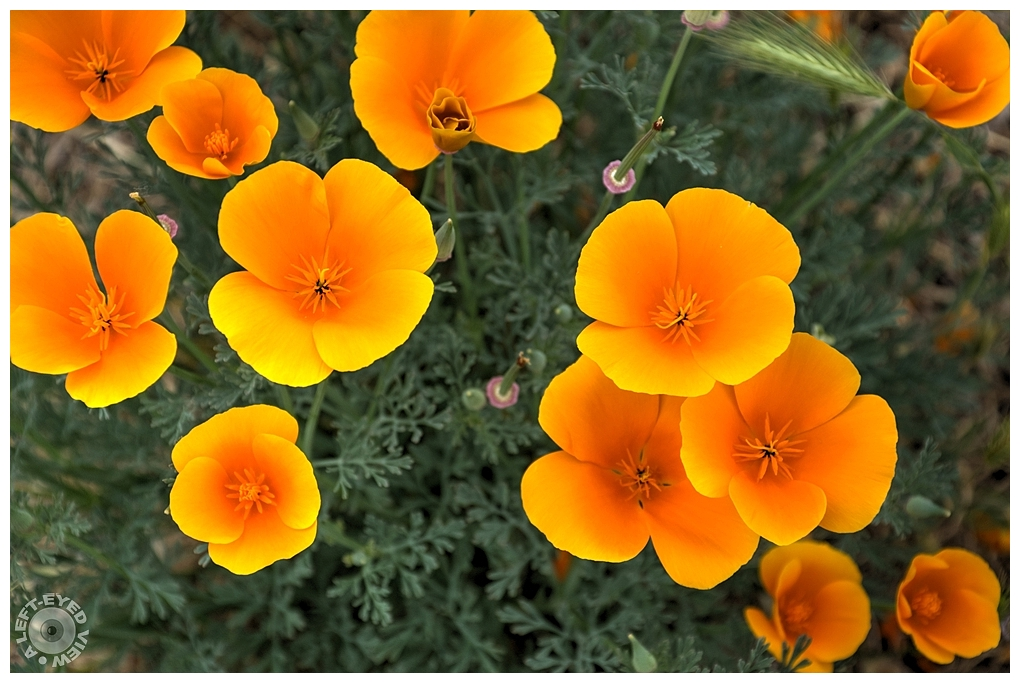 """A Left-Eyed View"", Sabourin, California Poppy"