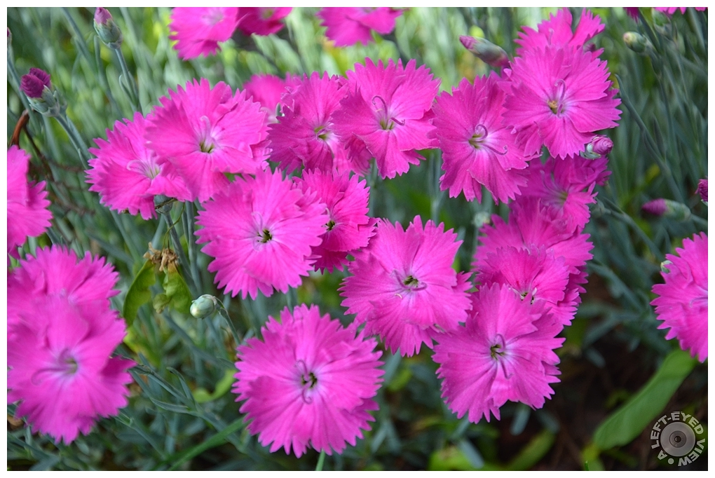 """""""A Left-Eyed View"""", Sabourin, Dianthus"""