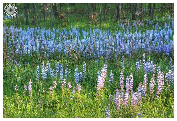 """""""A Left-Eyed View"""", Sabourin, Lupine"""