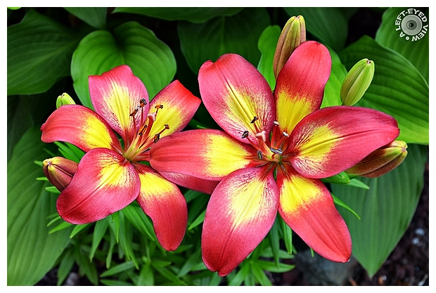 """""""A Left-Eyed View"""", Sabourin, """"Asiatic Lily"""""""