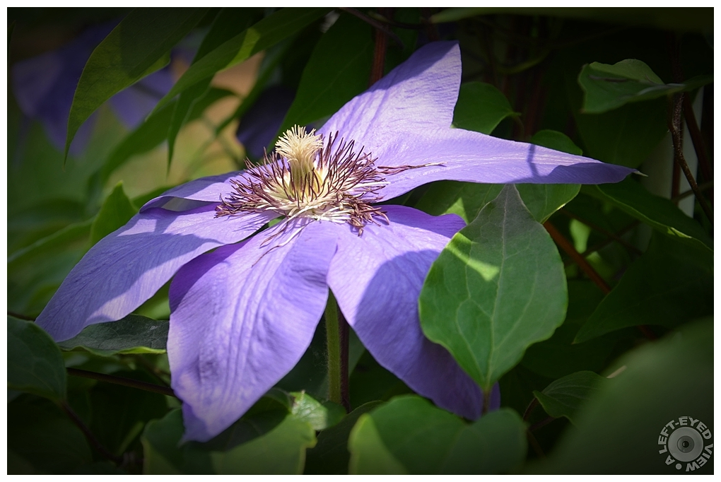 """""""A Left-Eyed View"""", Sabourin, Clematis"""