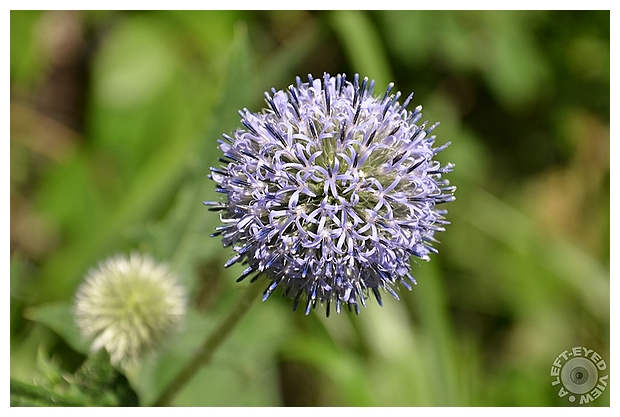 Great Globe Thistle/Blue Thistle's Bloom