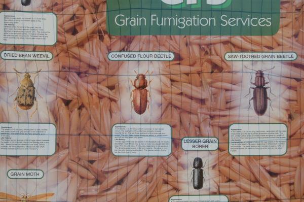 Confused Flour Beetle