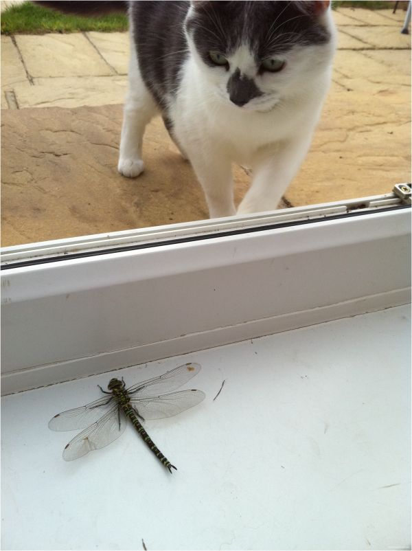 Mahooosive Dragon Fly + Cat