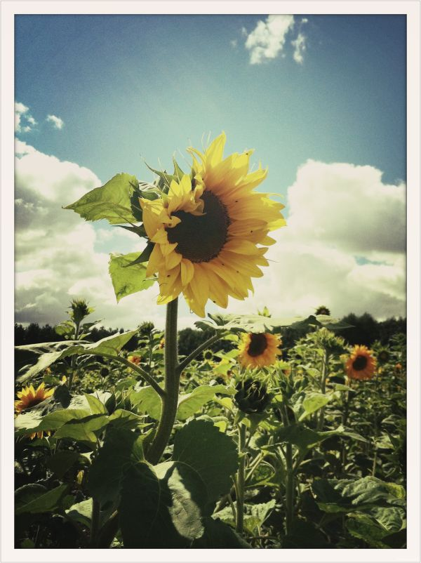 Sunflower! Good Morning!