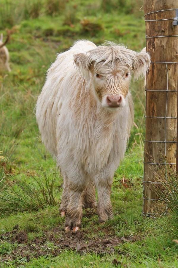 Highland cow on the Isle of Skye, Scotland