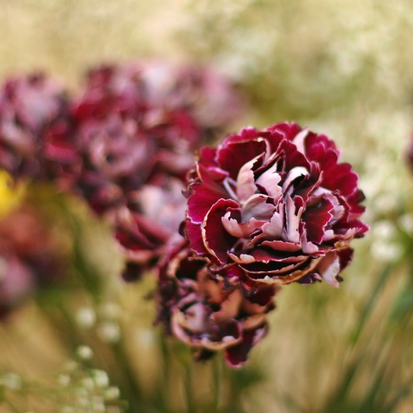 Unusual carnations with babies breath