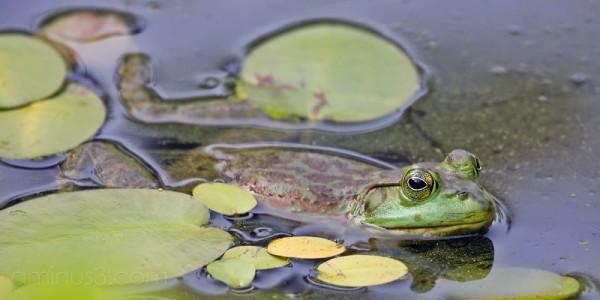 A frog at the Atlanta Botanical Garden