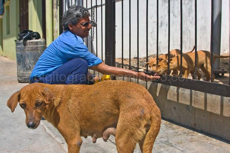 Man feeding dogs in Pondicherry
