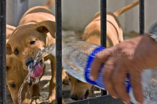 Man giving water to puppies in India
