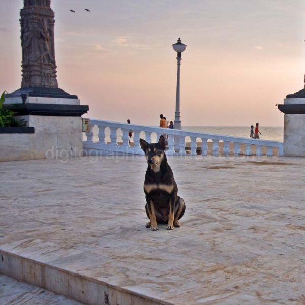A dog at Gandhi Square in Pondy