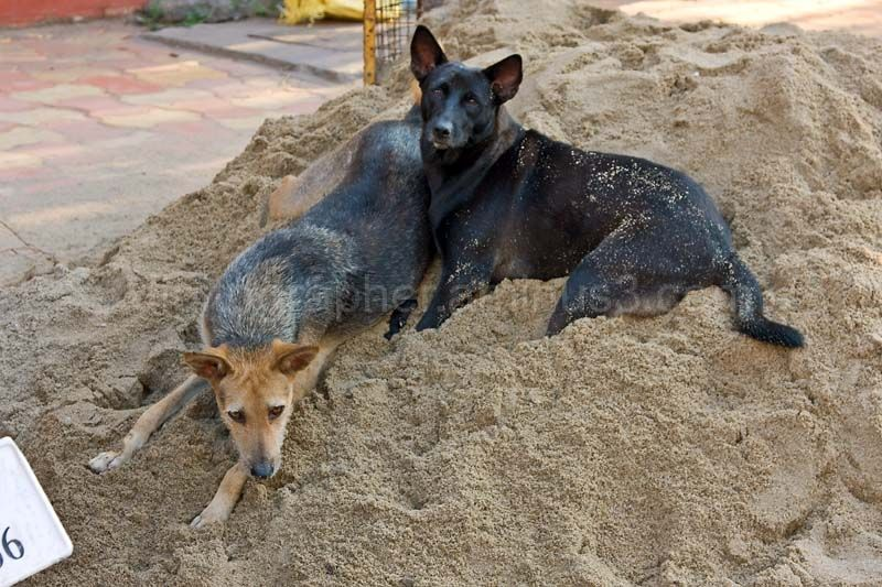 Dogs in Pondy