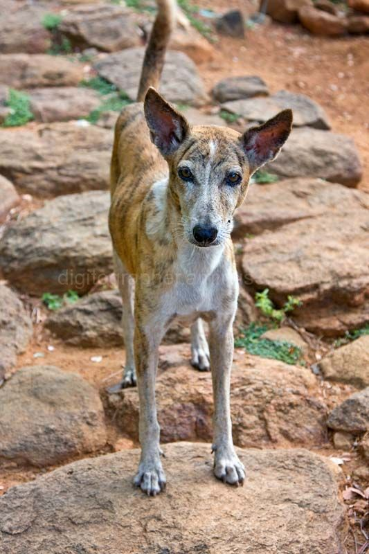 Dog at Arunachala