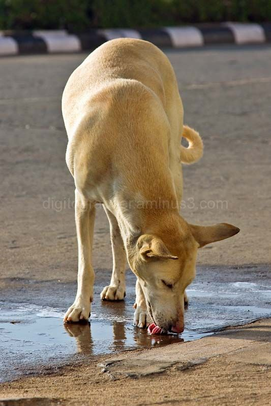 Dog drinking rain water