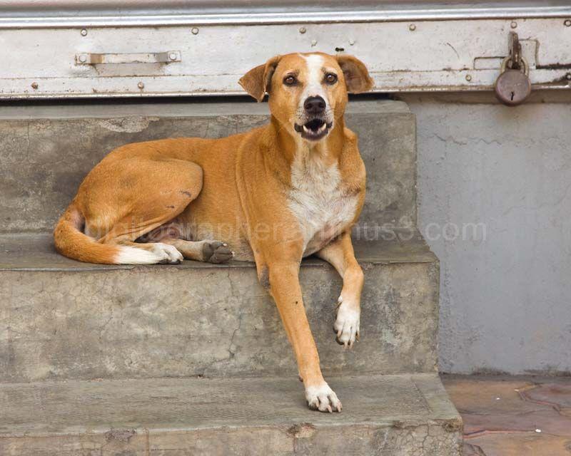Dog in Pondy