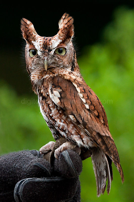 Screech owl at the Chattahoochee Nature Center