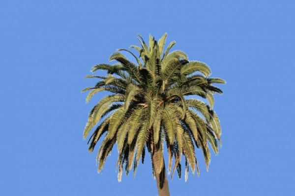PALMERA   -   PALM TREE