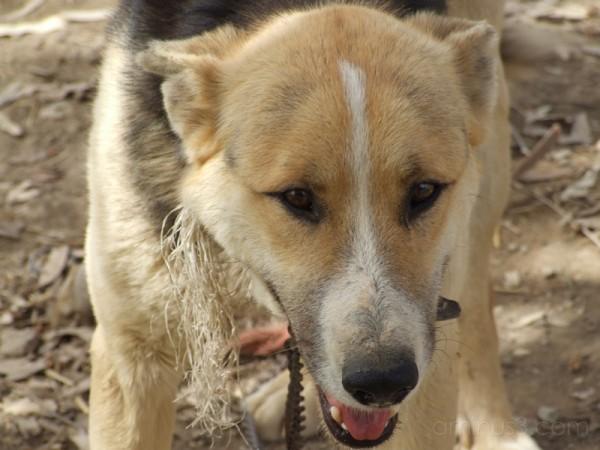 Dog . . . Harsh Face . . .