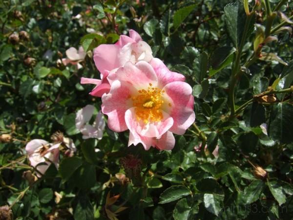 Pink Rose . . .
