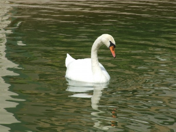 Swan Coquetry