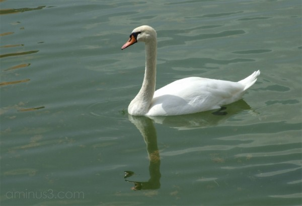 Staid Swan