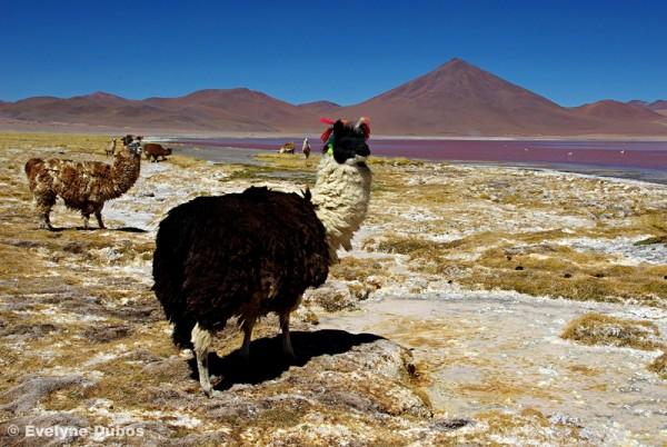 Lamas, chameaux des Andes (Bolivia)