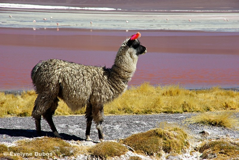 Lamas, chameaux des Andes -2- (Bolivia)