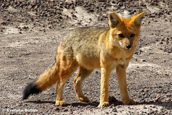 Curious but distrusful fox cub... (Bolivia)