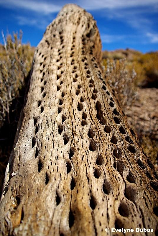 Dead cactus  (Bolivia)
