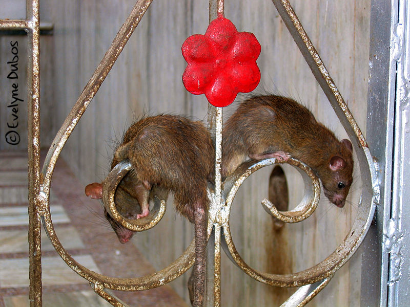 Rats temple. (India)