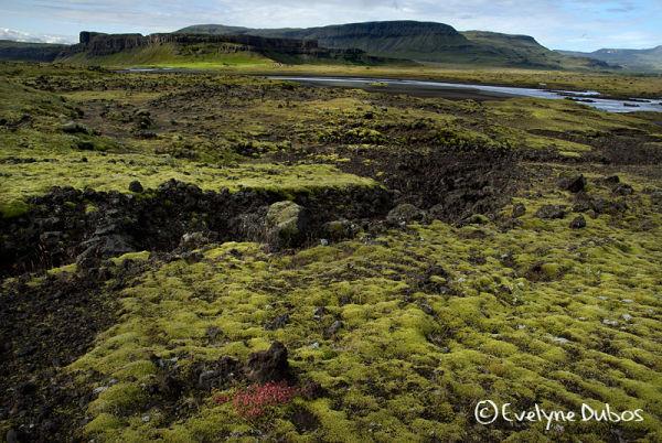 Champs de mousse sur lave  -  (Islande)