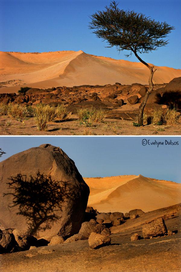 L'acacia et son ombre.  (Niger)
